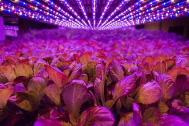 Kỹ thuật trồng rau mới không cần ánh sáng Mặt Trời