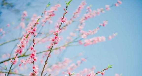 Mãn nhãn hoa anh đào, đào rừng đẹp như xứ Phù Tang tại Fansipan